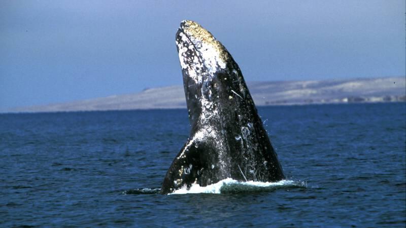 Grijze walvis zwemt recordafstand van 27.000 kilometer