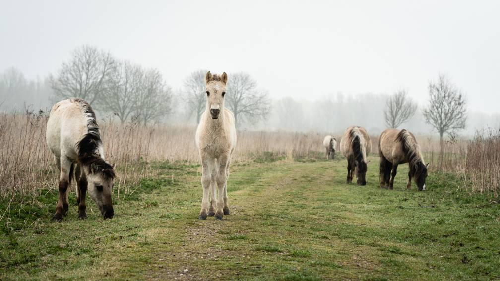 Bekijk details van Staatsbosbeheer mag konikpaarden vangen voor de slacht