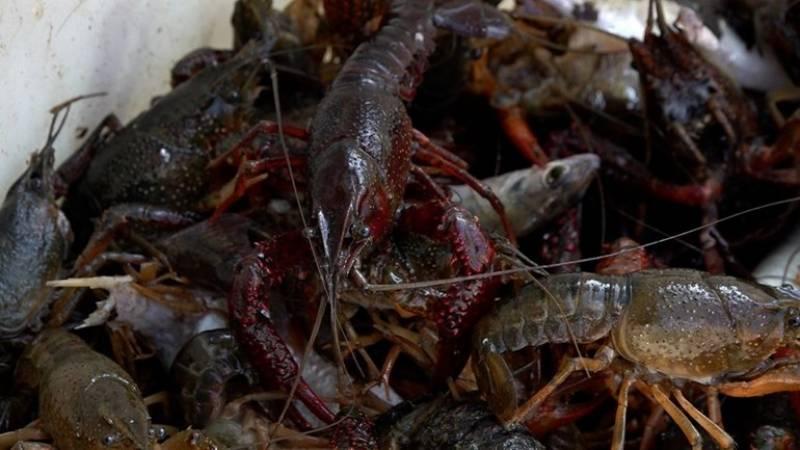 11.000 rode rivierkreeften gevangen in Ede
