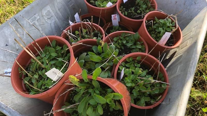 Reddingsoperatie voor zeldzaam plantje bij Epe
