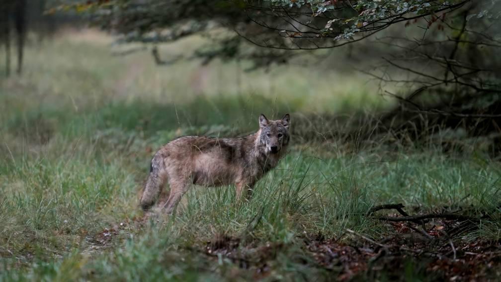 Bekijk details van 16.000 euro voor gouden tip over doodgeschoten wolf bij Stroe